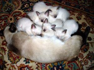 сиамская кошка с котятами