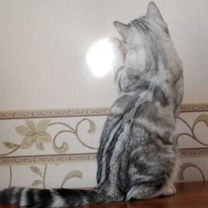 кот играет с солнечным зайчиком