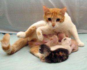 окот у кошки