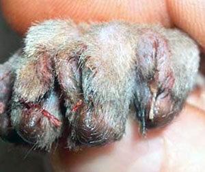 удаление когтей у кошки осложнения