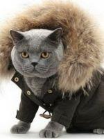 британский кот в куртке