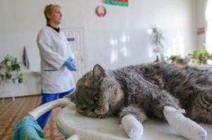 кошка после операции удаления когтей